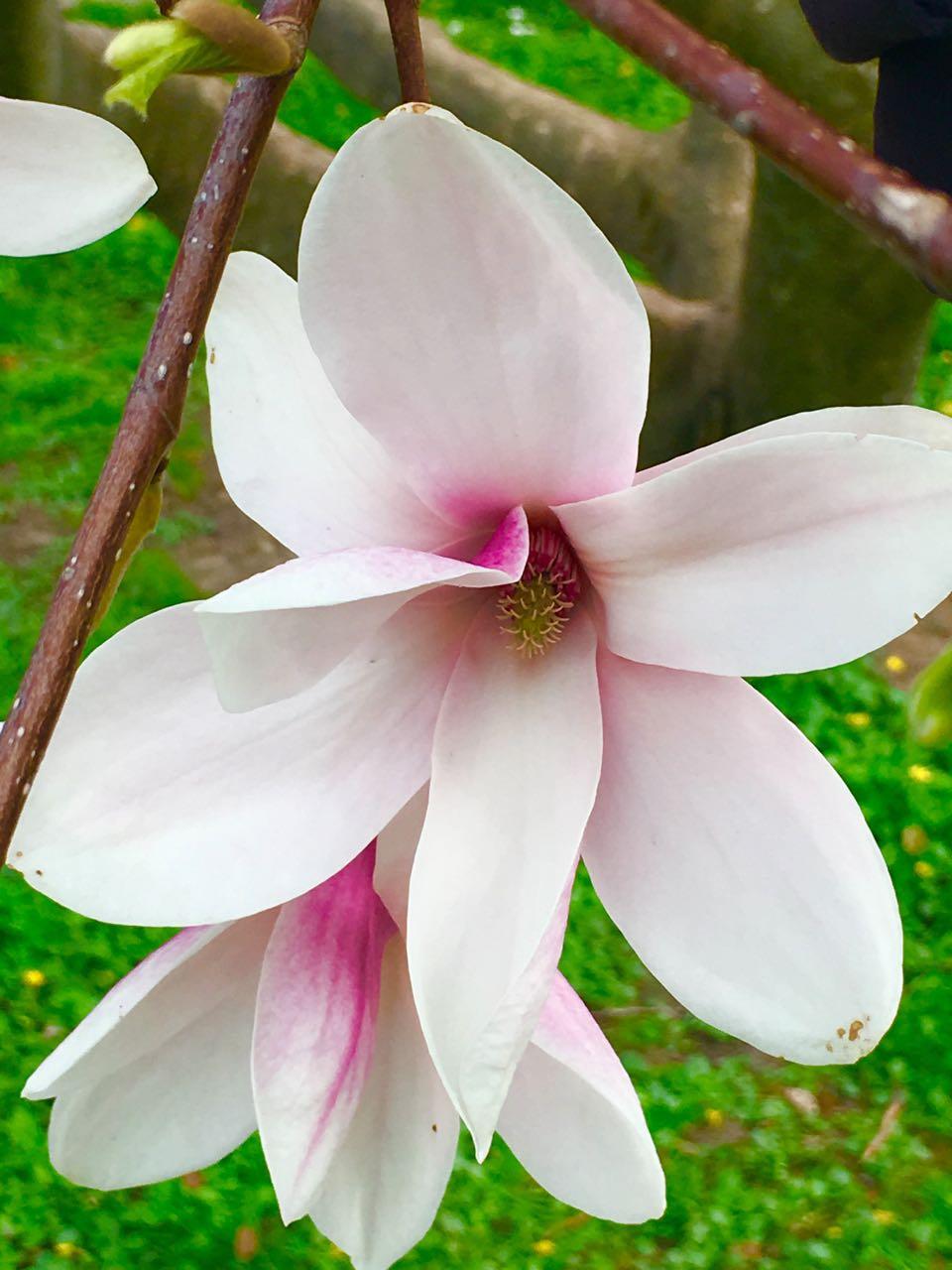 Magnolienblüte.jpg