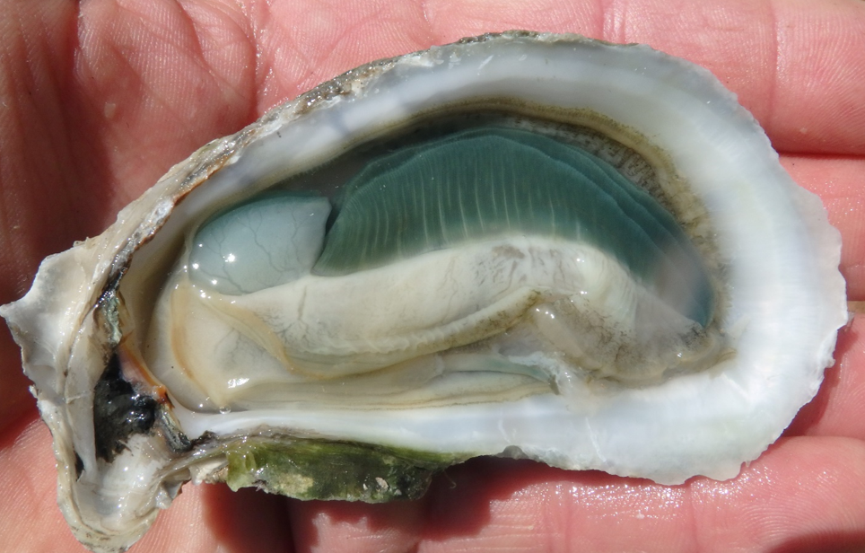The famous green gill of the Atlantic Emeralds.