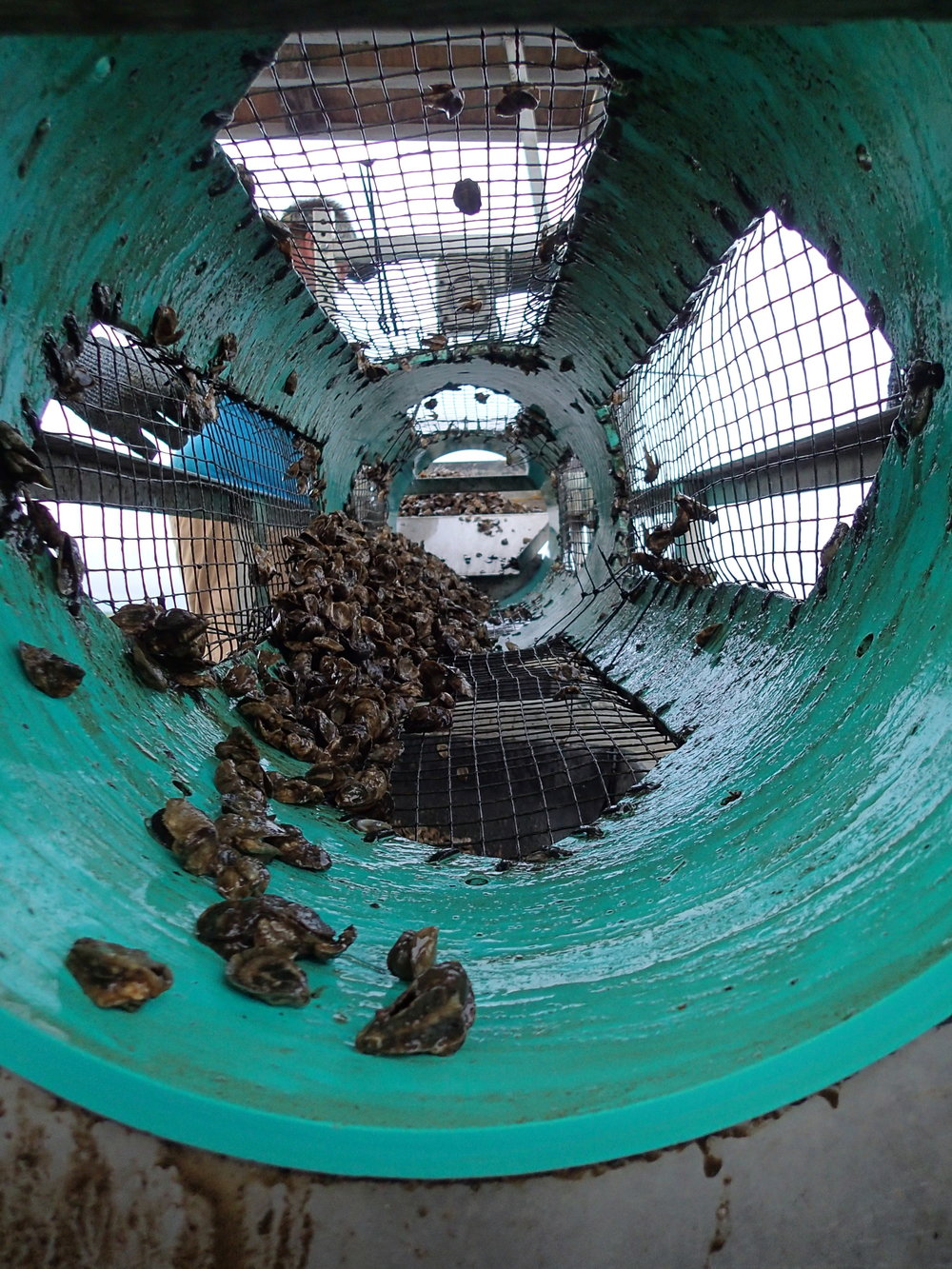 Oyster tumbling. Source: Oyster Boss.