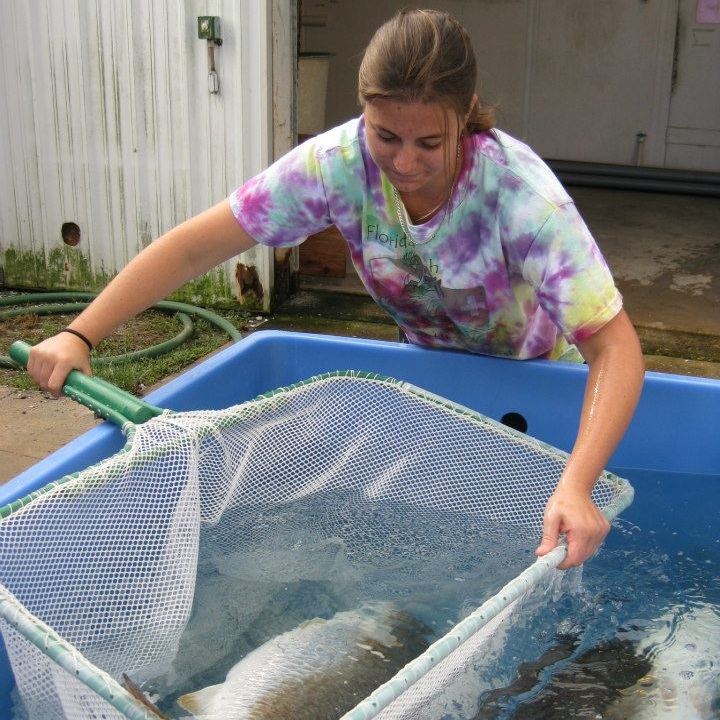 Nicolette netting an adult red drum to be brought inside the Florida Fish and Wildlife hatchery in Port Manatee, FL to be conditioned to spawn. Source: Nicolette Mariano.