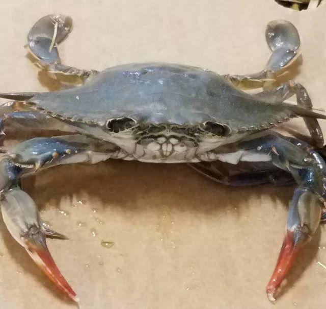 Fresh in today we ha e Soft Shell Crabs from Maryland.  #royal #hawaiian #seafood #royalhawaiianseafood #rhs #seafood #seafoodwholesale #localseafood #localfish #local #california #bayarea #southsanfrancisco #softshellcrab