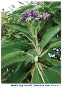 woolly-nightshade-solanum-mauritianum.jpg