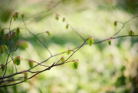 Beech tree buds