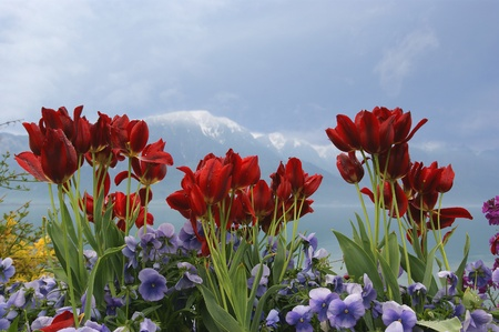 Poppies and tulips along the Gorges de l'Areuses, Canton of Neuchâtel where Fleurier is located