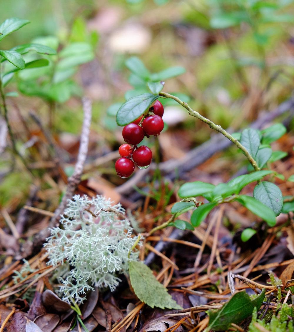 Lingonberry.jpg