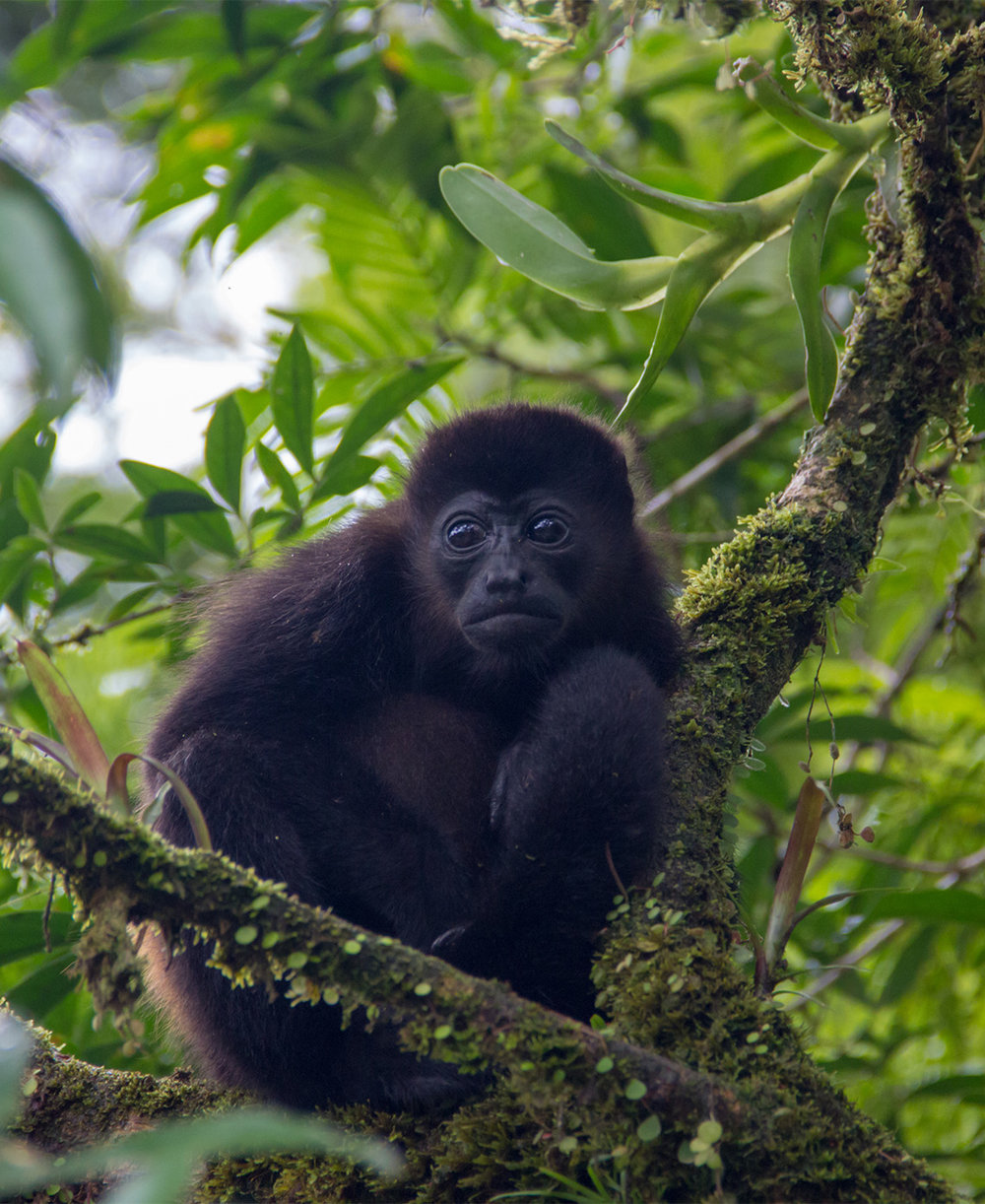 - The Endangered Yucatan Black Howler monkey is classified as Critically Endangered by the IUCN Red List due to an estimated past and projected future population decline well exceeding 80% over three generations (45 years), primarily as a result of a high rate of habitat loss.