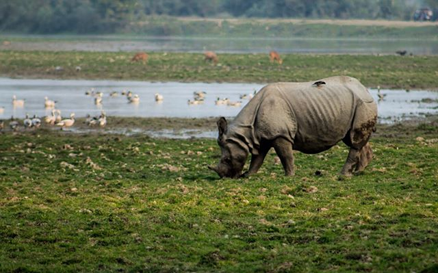 Kaziranga National Park, in Assam, India, is home to a variety of wildlife. (1) The Indian Rhinoceros, or the great one horned rhino, is one of Kaziranga's specialties. (2, 3) Visitors can spot bald eagles, deer, and a plethora of birds at this park. If they're lucky, they can also happen upon tigers, as Kaziranga has one of the highest densities of tigers amongst protected area across the globe. (4) This World Heritage Site sees a large amount of footfall daily. (5) Large jeeps full of tourists traverse through the park's trails, bellowing loudly, and leaving behind a puff of dust and exhaust.  #kaziranga #rhinoceros #wildlife #baldeagle #deer #jeepsafari #natgeo #natgeoyourshot #natgeotravel #wildlifephotography #naturegram #travelphotography #wildlifeconservation #everydayindia #assam