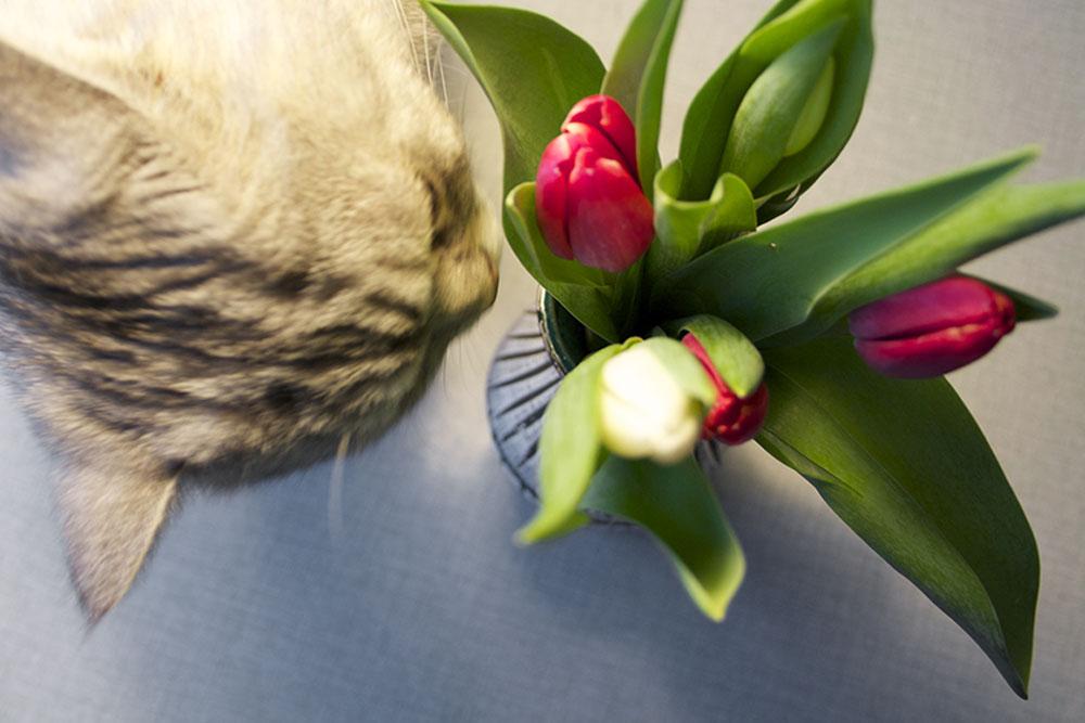 tulipan_3