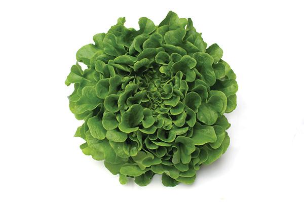 Greenoak Lettuce