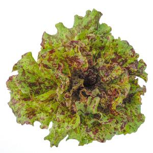 Red Cherokee Lettuce