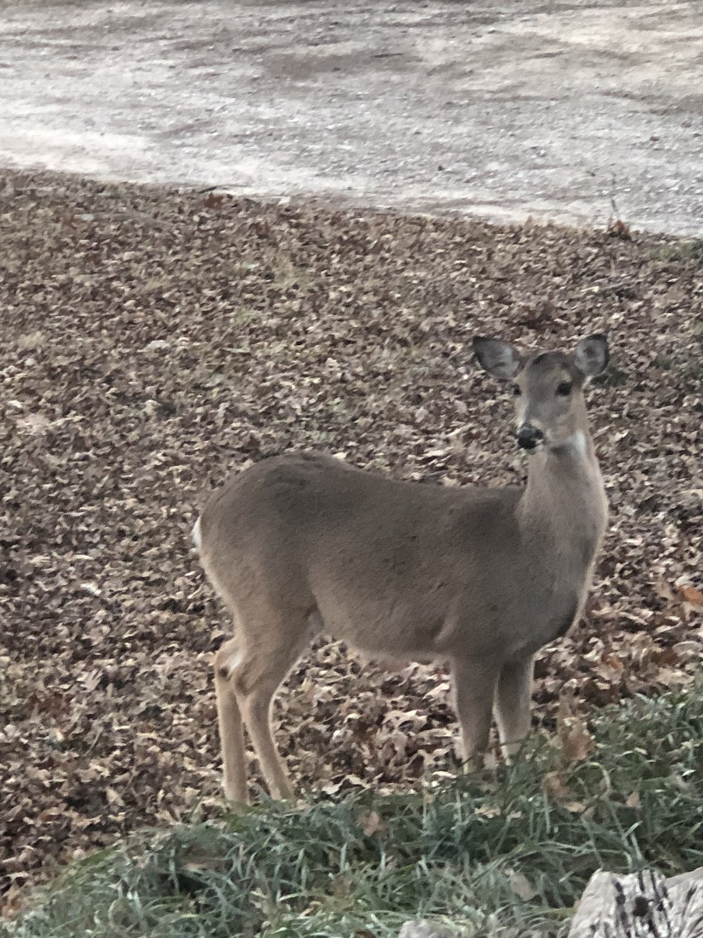 Sunday Deer - Its cold outside but the deer still find their way past my yard!