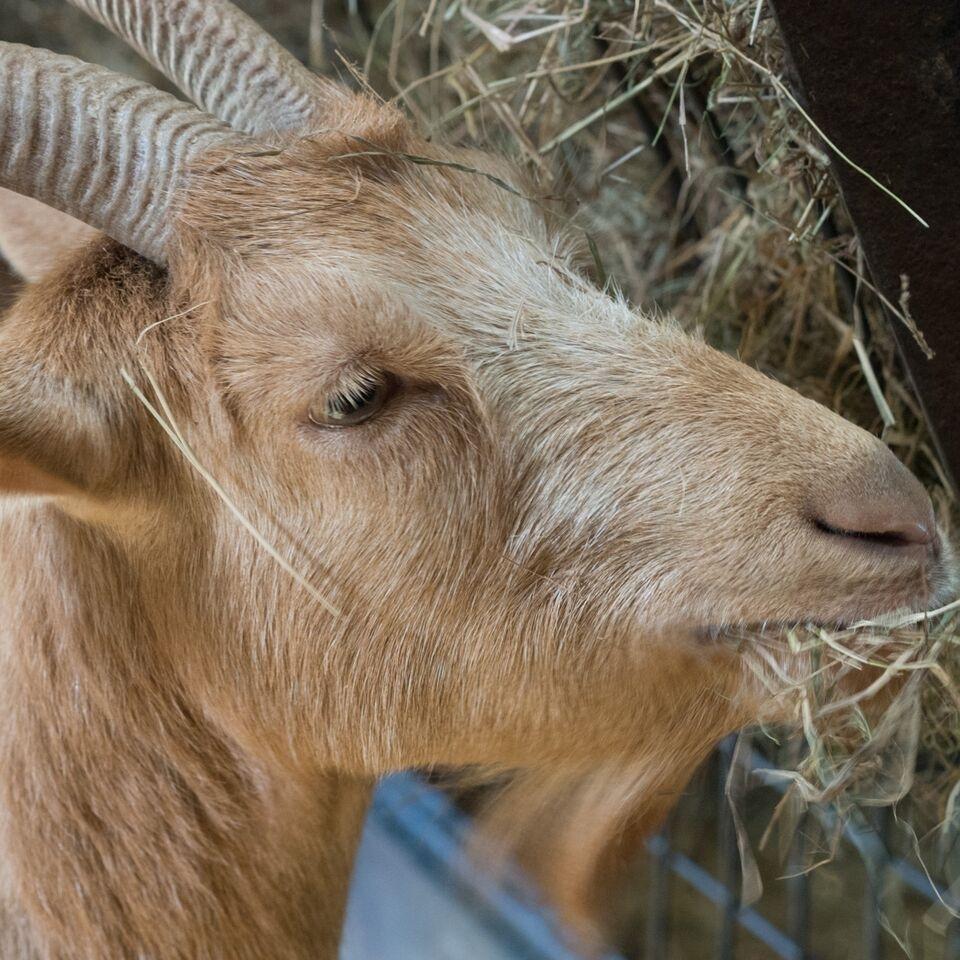 Betony Golden Guernsey Goat