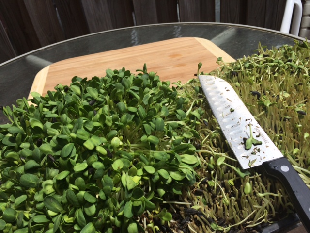 Microgreens in their nutrient-rich soil