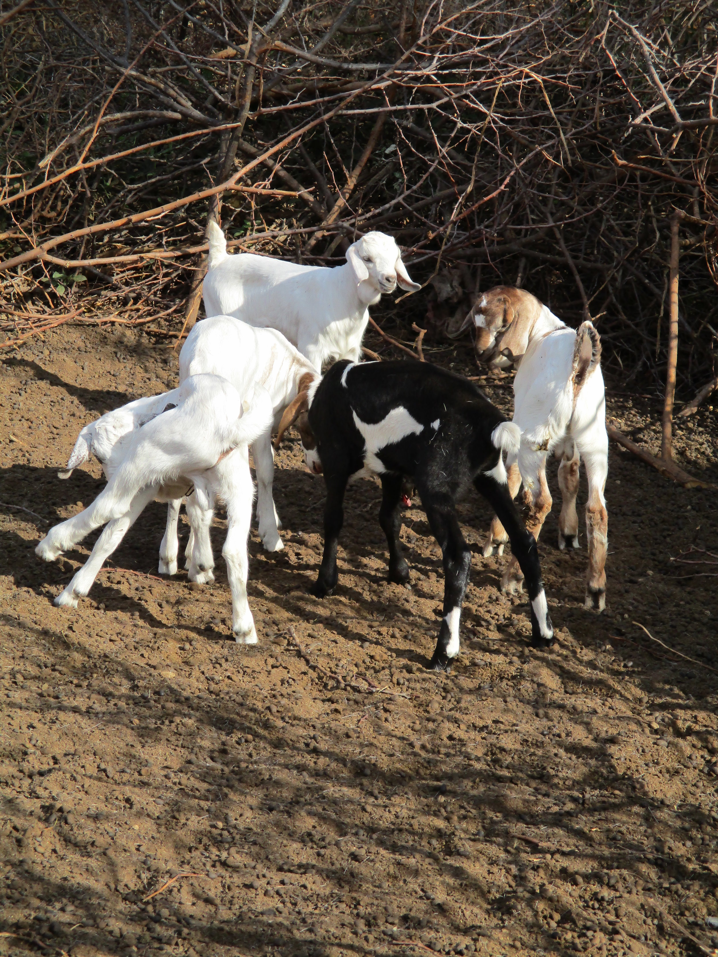 Goats (but these are not the ones taken from Sankau!)