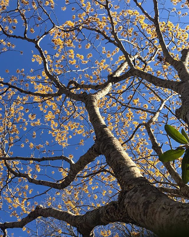 Blue skies and Hamamelis (Witch Hazel). Happy Spring equinox to all!
