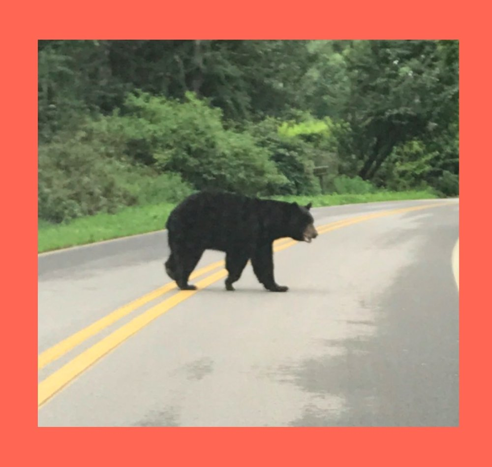 BEARS IN NORTH CAROLINA - I saw bears in the wild in North Carolina and it was awesome!