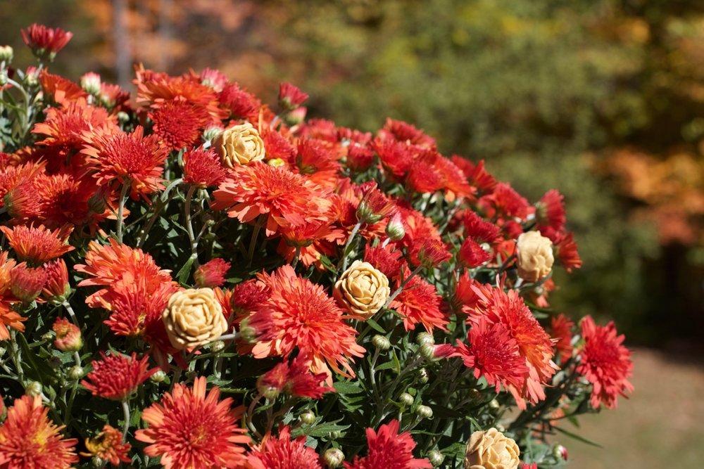 Autumnal Peony