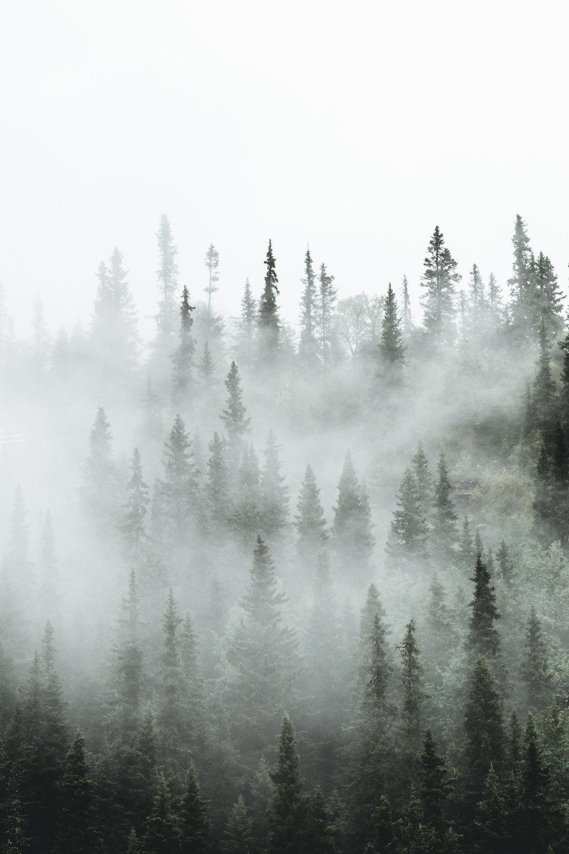 Foggy treetops