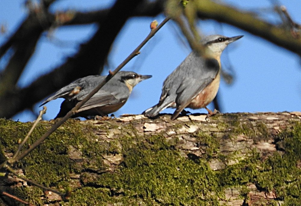 Nuthatches - female, and male - at the southern end of Chartwell's lower lake.  © Erik Brown 2018