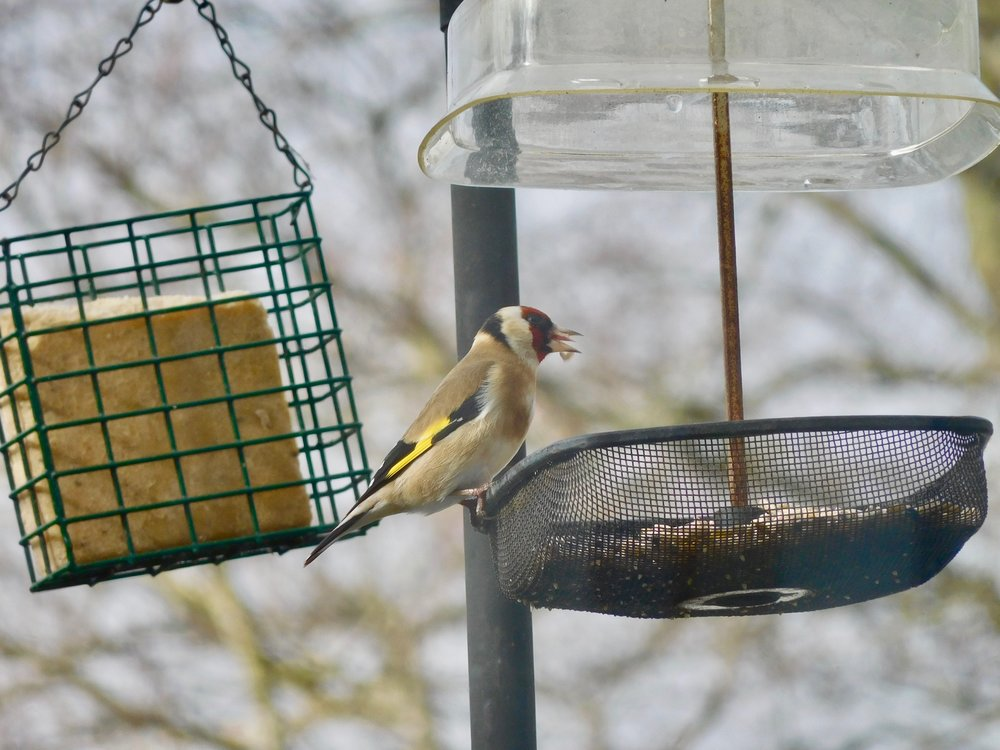 It has been a good year for goldfinches. Their call is quite like that of a swallow, a slurred, sweet, musical 'swilp'. The song is fast with tinkling, chattery notes.