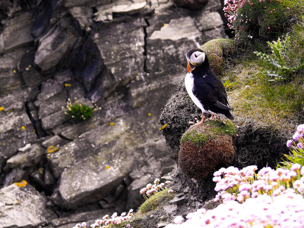 Puffin among the sea pinks