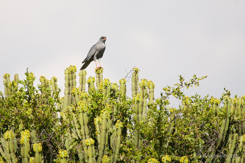 Goshawk on cactus, Serengeti National Park