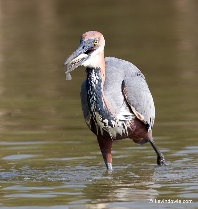 Goliath Heron fishing, St Lucia Wetlands, South Africa (4)