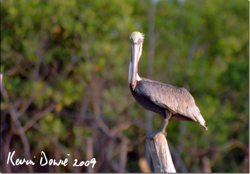 Pelican on perch, Galapagos Islands.