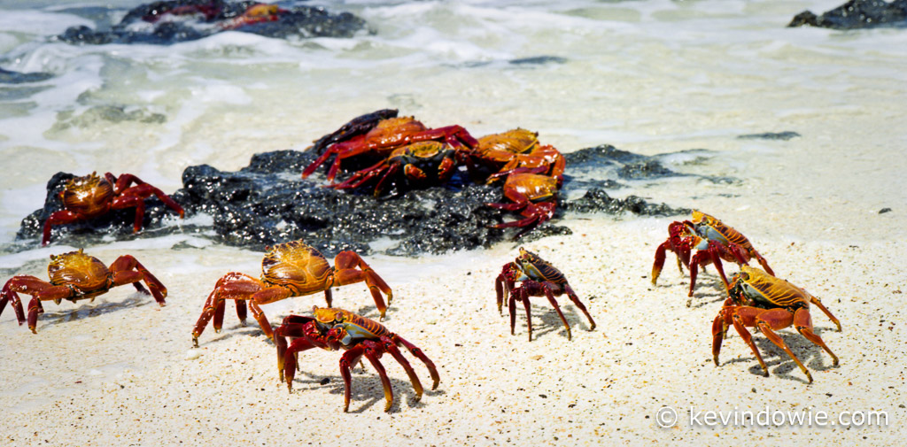 Sally Lightfoot Crabs on beach, Galapagos Islands.
