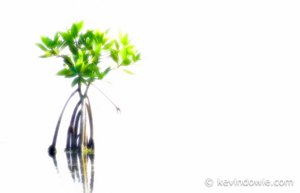 mangrove plant, Galapagos Islands (high key treatment)