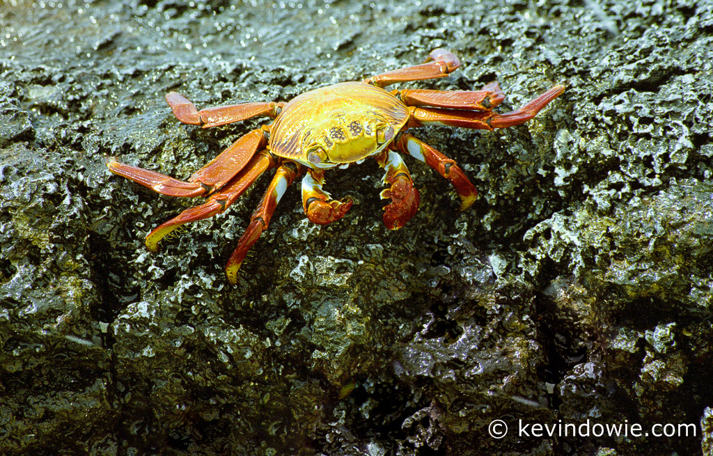 Sally Lightfoot Crab on rock, Galapagos Islands.