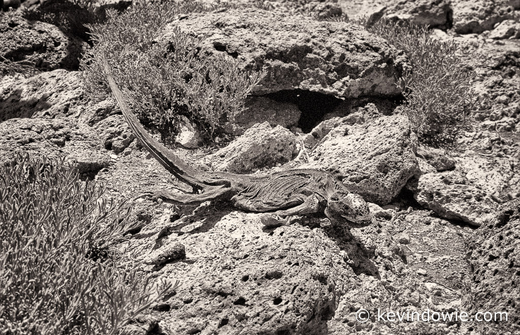 """Death of the dinosaur"" iguana remains, Galapagos Islands"