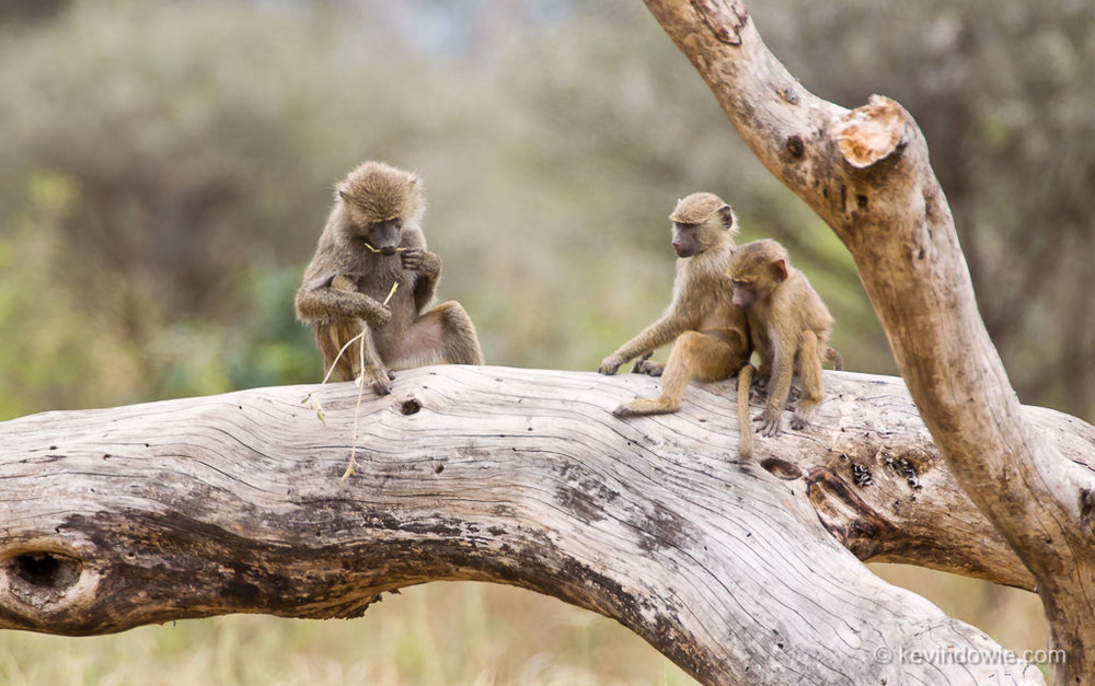 Learning by watching, baboons.