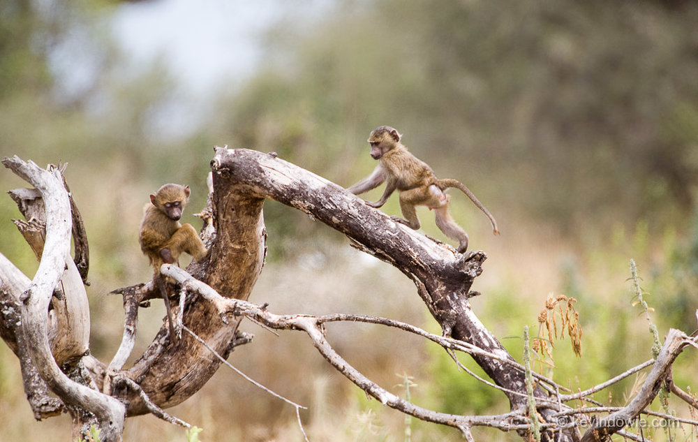 Juvenile baboons on a log, Tarangire National Park