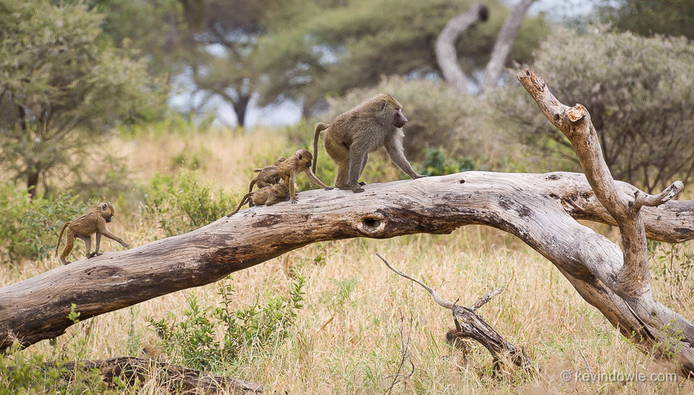 Baboons on fallen tree,