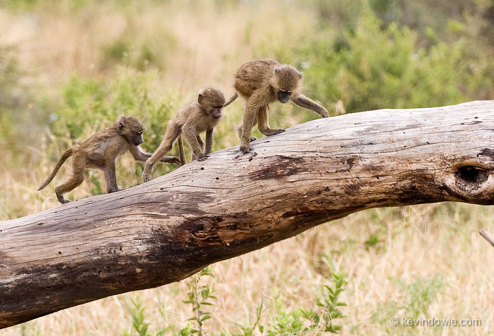 juvenile baboons