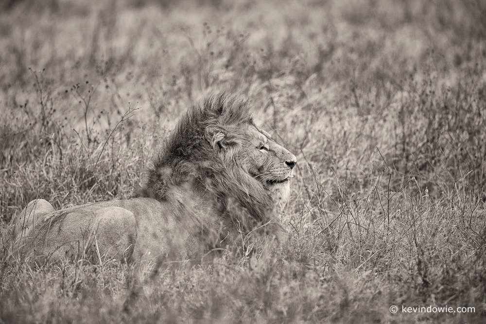 Sepia effect, lion lying in grass, Ngorongoro Crater, Tanzania