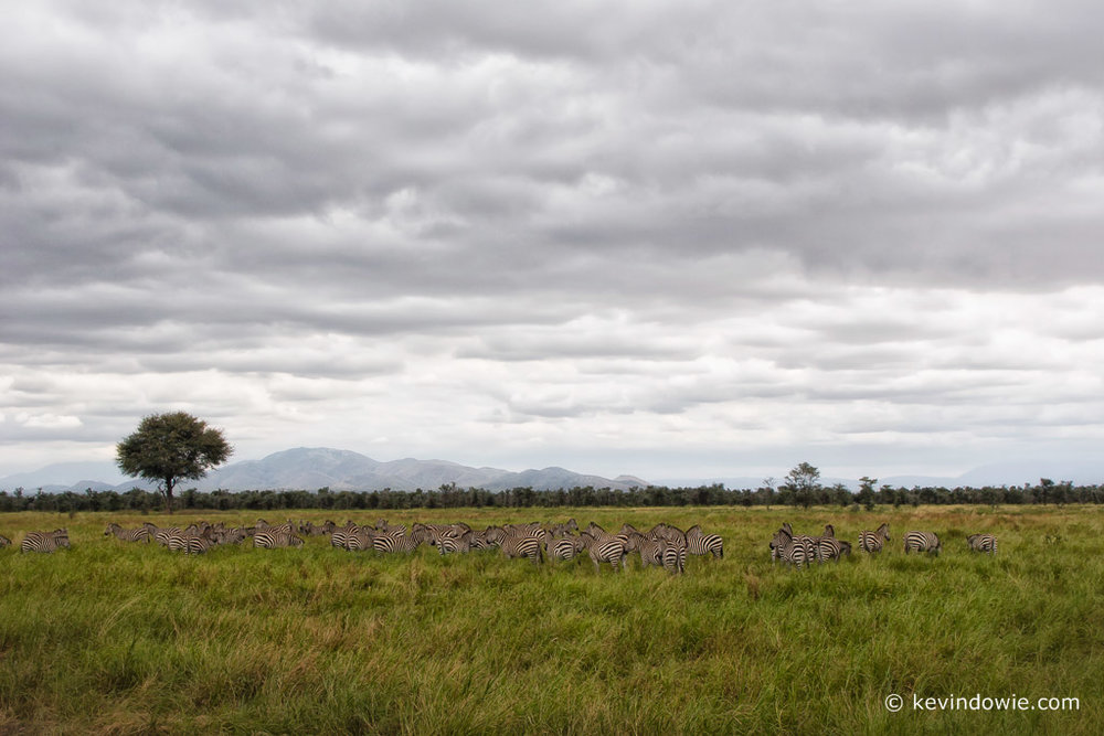 Zebras in the landscape, Tarangire National Park, Tanzania