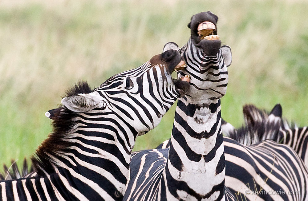 Biting behaviour, zebras, Ngorongoro Crater, tanzania.