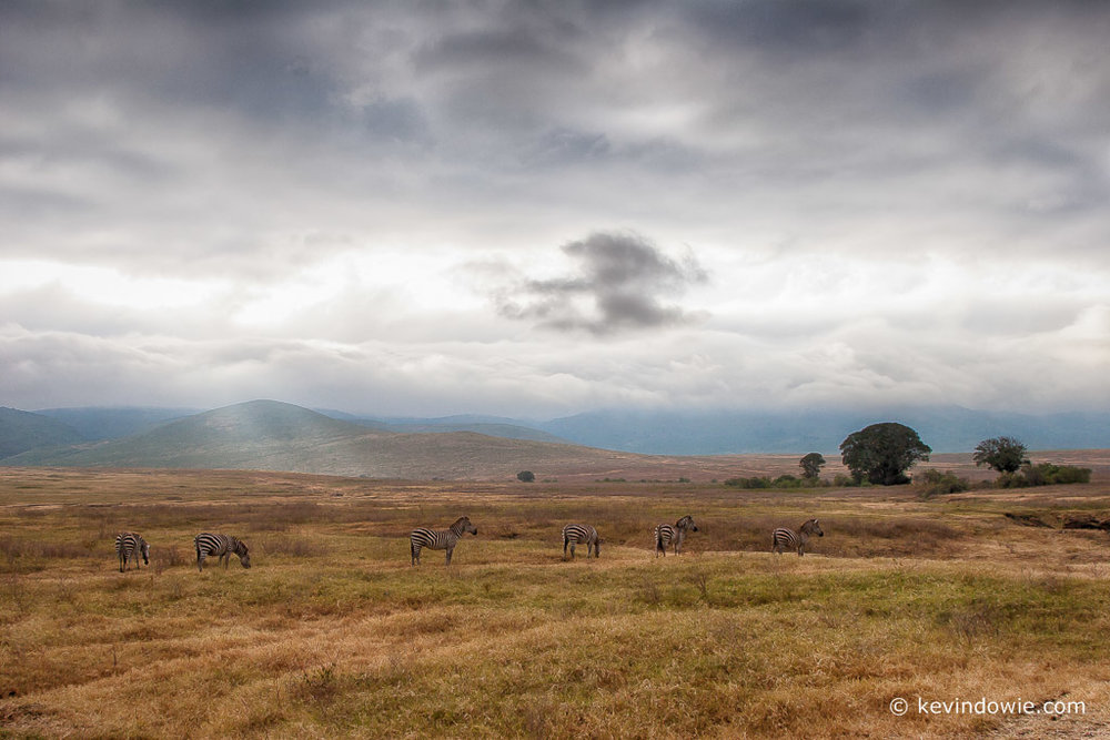 Zebras in the landscape, Ngorongoro Crater, Tanzania