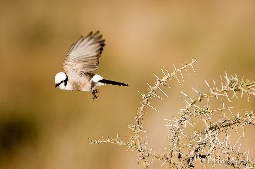 Northern White Crowned Shrike, Serengeti National Park