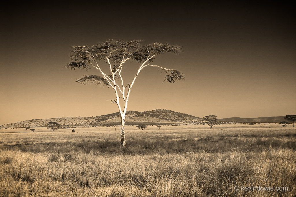 Lone acacia, Serengeti National Park