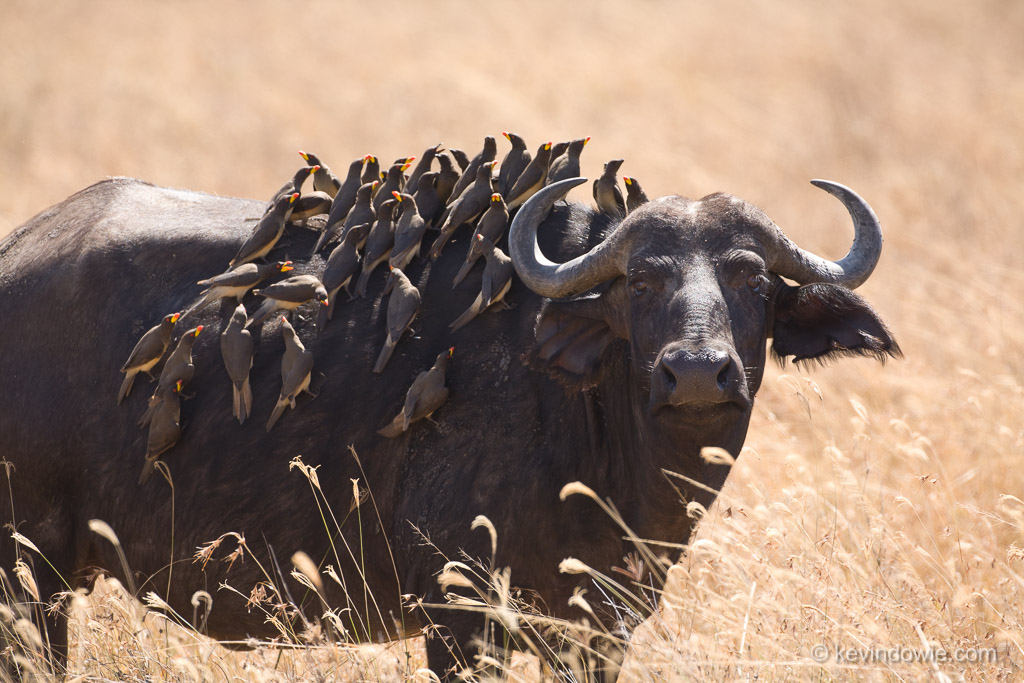 Oxpeckers on buffalo