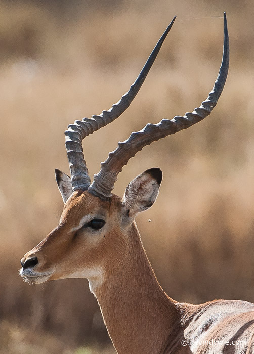 Grant's Gazelle, close crop