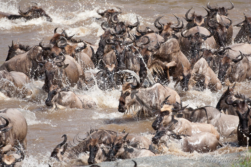 Wildebeest crossing the Mara River, Tanzania.