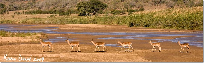"""Follow the leader"" Impala, Hluhluwe/Imfolozi, South Africa"