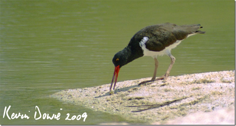 American Oystercatcher, Galapagos Islands