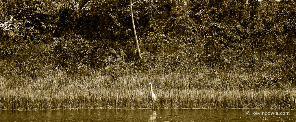 Egret at water's edge, Flores, Guatemala.