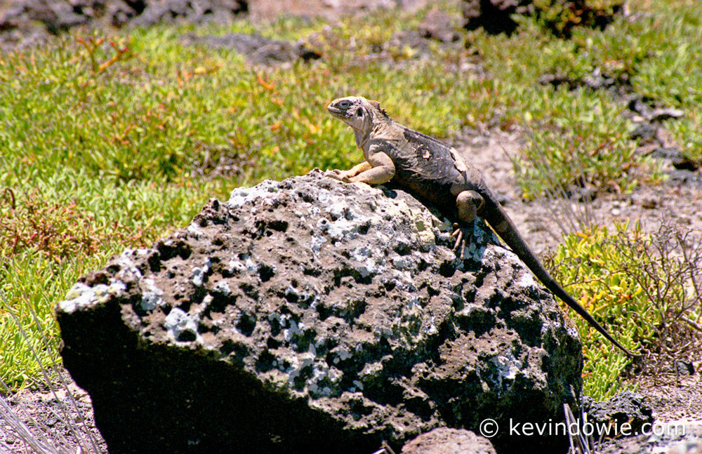 Iguana shedding its skin, Galapagos Islands.