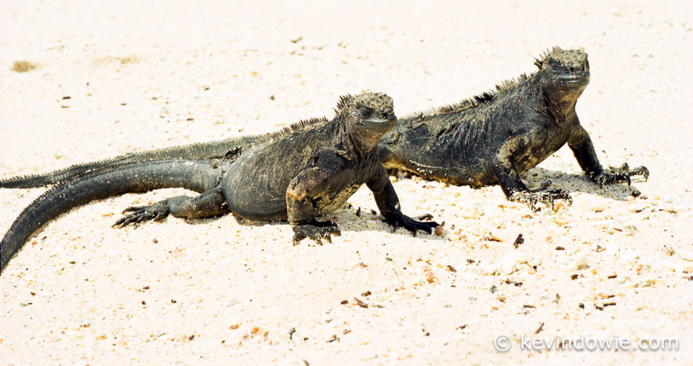 a pair of marine iguanas on beach, Galapagos Islands